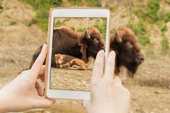 Stock Photo of Bison in a tabet