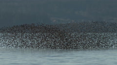 Shorebirds, Birds, Flock, Fly, Flight, Flying Stock Footage