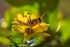 Grasshopper on yellow flower - stock photo