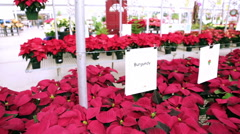 Poinsettia for sale at the local garden center. Stock Footage