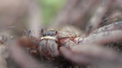 Macro of a group of ants attacking and eating a giant crab spider-Dan - stock footage