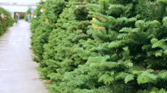 Beautiful fresh cut Christmas trees at Christmas tree farm. - stock footage