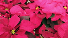Poinsettia for sale at the local garden center. - stock footage