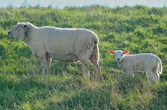 Germany, Oldersum, Ewe with lamb grazing - stock photo