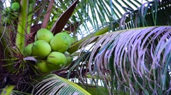 Looking up at Palm Tree and coconut brunch on the beach Stock Footage
