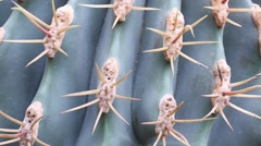 Ferocactus thorns Stock Footage