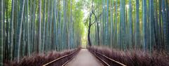 Japan, Kyoto, Arashiyama bamboo forest at sunrise - stock photo