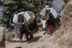 Nepal, Himalayas, Kumbu, Tengboche, Yaks carrying bags on mountain path - stock photo