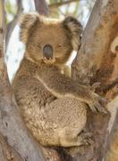 Australia, Victoria, Koala sitting in tree Stock Photos