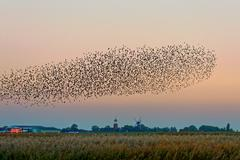 Germany, Lower Saxony, East Frisia, Flock of starlings flying over field - stock photo