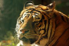Beautiful tiger head, portrait of captive animal at the zoo Stock Photos