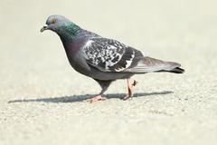 Feral pigeon ( Columba livia ) walking on park alley, full length Stock Photos