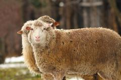 white sheep near the farm in a winter day - stock photo