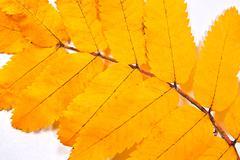 Autumn rowan tree leaf as background. Stock Photos