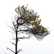 Bare pine tree branches Stock Photos