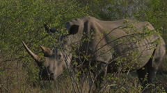 Full shot of  White Rhino with horns,South Africa. Stock Footage