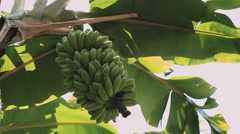 Green Bunch Of Bananas on palm tree close up Stock Footage