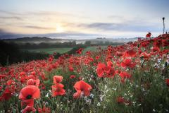 Poppy field at sunrise Stock Photos