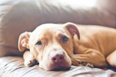 Close up of pitbull relaxing on sofa - stock photo