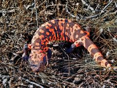 USA, Arizona, Sonoran Desert, Venomous Gila Monster - stock photo