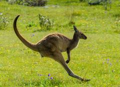 Australia, Coffin Bay, Eyre Peninsula, Kangaroo on the breaks Kuvituskuvat