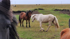 ICELAND Horses Pferd meadow Weide Stock Footage