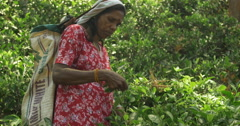 Medium Shot of Tea Plucker Plucking leaves in Kandy Sri Lanka - stock footage