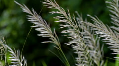 Kans grass (Saccharum spontaneum) moving freely in autumn air , slow motion Stock Footage