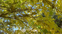 Autumnal yellow green foliage - tree branches by a sunny day - low angle shot Stock Footage