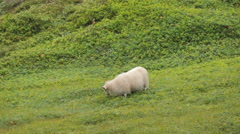 ICELAND Mjoifjoerdur sheep Schaf Stock Footage
