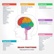 Human brain anatomy and functions Piirros