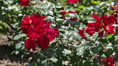 Roses plant in spring  garden Stock Footage