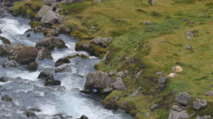 ICELAND sheep Schaf stream Fluss - stock footage