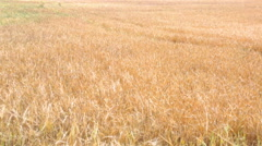 close-up view of wheat field in sunny day - stock footage