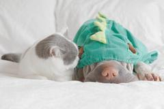 Cat playing with dog dressed up as dinosaur - stock photo