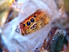 USA, Arizona, Close-up view of Jumping Spider - stock photo