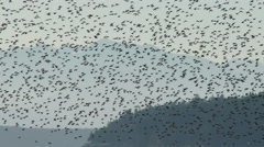 Shorebirds, Birds, Flock, Fly, Flight, Flying Stock Footage