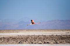 Chile, San Pedro de Atacama, Flamingo flying over desert Stock Photos
