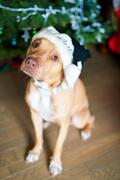 Pitbull sitting in front of a Christmas tree wearing a Christmas hat - stock photo