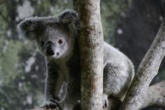 Koala bear sitting in a tree, Queensland, Australia - stock photo