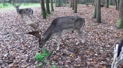 A large adult fallow deer in the forest Stock Footage