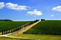 Avenue lined with cypress trees by a Tuscan vineyard, Italy - stock photo