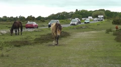 Cars and caravans driving past wild grazing horses in the New Forest Stock Footage