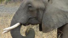 Close-up of an African elephant eating Stock Footage