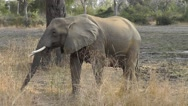Stock Video Footage of African elephant walking and swinging its trunk through grass