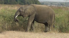 An African elephant is eating grass in African landscape Stock Footage