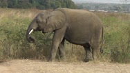 Stock Video Footage of An African elephant is eating grass in African landscape