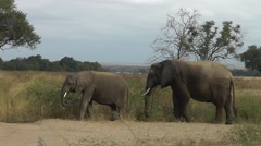 Two African elephants are eating grass in African landscape Stock Footage