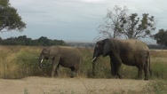 Stock Video Footage of Two African elephants are eating grass in African landscape