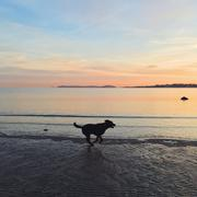 Dog running on beach in Norway at sunset - stock photo